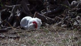 Den vita tuppen med hönorna i gårdsplanen, djuren strövar omkring i gårdsplanen arkivfilmer