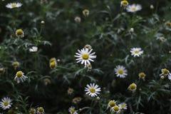Den vita tusenskönan blommar i en buske Arkivfoto