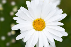 Den vita tusenskönan blommar på grön bakgrund Makro Arkivbild