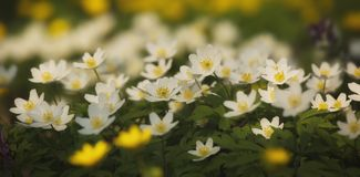 Den vita våren blommar i skogen Royaltyfri Fotografi