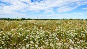 Den vita våren blommar på grön bakgrund Arkivbilder