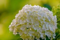 Den vita vanliga hortensian blommar i eftermiddagsolljus i Minnesota arkivbild