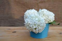 Den vita vanliga hortensian blommar i vas Royaltyfria Foton