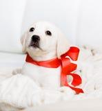 Den vitLabrador valpen med det röda bandet på hans hånglar royaltyfria foton