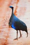 Den Vulturine Guineafowlen. Safari i västra Tsavo, Kenya, Afrika Fotografering för Bildbyråer