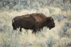 Den vuxna bisonen står bland malört i den Yellowstone nationalparken, Arkivfoto