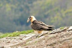 Den vuxna fiskgjusen äter i Pyreneesna arkivfoto