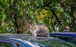 Den vuxna gråa katten sitter på taket av bilen royaltyfria foton