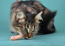 Den vuxna katten äter en franfurterkorv Arkivfoto