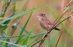 Den vuxna manliga gemensamma gräshoppasångaren sjunger hans sång djupt i gräs royaltyfria bilder