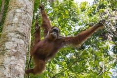 Den vuxna orangutanget flyttar sig från filial till filialen & x28; Sumatra Indonesia& x29; Arkivbild