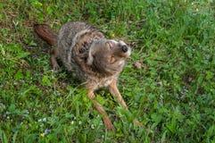 Den vuxna prärievargen (Canislatrans) skakar av Arkivbild