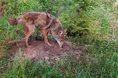 Den vuxna prärievargen (Canislatrans) sniffar på Densite Fotografering för Bildbyråer