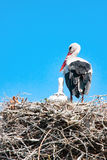 Den vuxna storken med nyfött behandla som ett barn valpen i dess rede Royaltyfri Foto