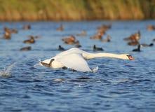 Den vuxna svanen tar av från vattnet med en färgstänk Royaltyfria Foton