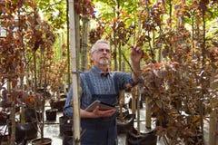 Den vuxna trädgårdsmästaren kontrollerar växterna i trädgården shoppar I exponeringsglasen med ett skägg arkivfoton