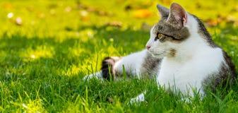 Den vuxna vit-strimmiga katten katten vilar i höstträdgård Fotografering för Bildbyråer