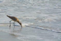 Den Willet catoptrophorussemipalmatusen som matar på indier, vaggar stranden i Florida, USA arkivbild