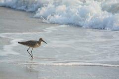 Den Willet catoptrophorussemipalmatusen som matar på indier, vaggar stranden i Florida, USA royaltyfri fotografi