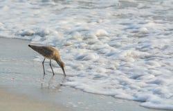 Den Willet catoptrophorussemipalmatusen som matar på indier, vaggar stranden i Florida, USA arkivfoto
