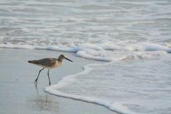 Den Willet catoptrophorussemipalmatusen som matar på indier, vaggar stranden i Florida, USA royaltyfria bilder