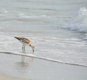 Den Willet catoptrophorussemipalmatusen som matar på indier, vaggar stranden i Florida, USA arkivbilder