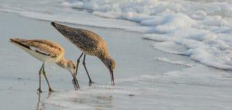 Den Willet catoptrophorussemipalmatusen som matar på indier, vaggar stranden i Florida, USA royaltyfria foton