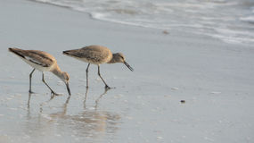 Den Willet catoptrophorussemipalmatusen som matar på indier, vaggar stranden i Florida, USA fotografering för bildbyråer