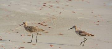 Den Willets catoptrophorussemipalmatusen som matar på indier, vaggar stranden i Florida, USA royaltyfri foto