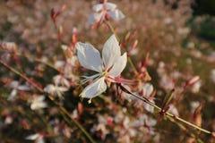 Den Wite rosblomman i kall bakgrundsblomma för trädgårds- whit poppar ut Arkivbilder