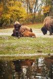 Den wood bisonen Arkivbild