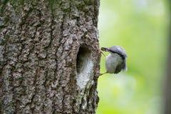 Den Wood nuthatchen kom med mat för fågelungar i näbb Fågelfamiljen tar omsorg av gröngölingar och skyddar deras rede i fördjupni Arkivbild