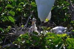 Den Wood storken (americana Mycteria) med behandla som ett barn Royaltyfria Foton