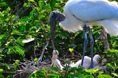 Den Wood storken (americana Mycteria) med behandla som ett barn Fotografering för Bildbyråer