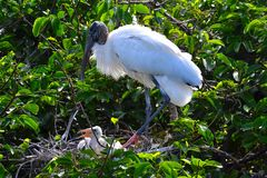 Den Wood storken (americana Mycteria) med behandla som ett barn Arkivbild