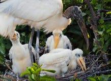 Den Wood storken med behandla som ett barn Arkivfoto