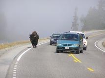 Den Yellowstone bisonen är ganska bekväm dela vägen med bilar arkivbild