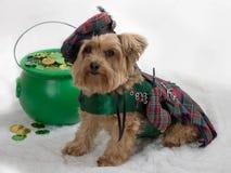 Den Yorkie hunden firar Sts Patrick dag Arkivbilder