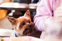 Den Yorkshire hunden tigger för maten från hans ägare Arkivfoton