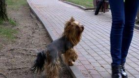 Den Yorkshire Terrier hunden står på forepaws stock video