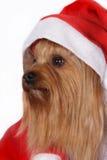 Den Yorkshire terrieren förföljer att ha på sig den Santa hatten Arkivfoton