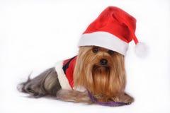 Den Yorkshire terrieren förföljer att ha på sig den Santa hatten Royaltyfria Bilder