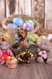 Den Yorkshire terriern Niki, den easter kaninen ?r egentligen arkivbilder