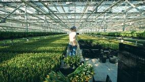 Den yrkesmässiga trädgårdsmästaren använder en vagn för att flytta samlade tulpan i ett växthus stock video