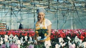 Den yrkesmässiga trädgårdsmästaren besprutar blommor med vatten i ett växthus lager videofilmer