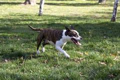 Den Zungenhund heraus haften, der in Park geht stockfoto
