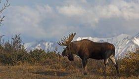 Denail Moose Royalty Free Stock Photography