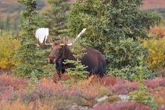 Denali för tjurälg (alcesalces) nationalpark, Alaska Arkivfoton