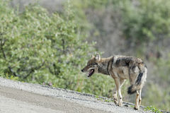 Denali grey wolf. Walking on the road Stock Photography