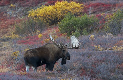 Denali Moose with Fall Colors. A moose walks through the falls colors in Denali National Park Royalty Free Stock Photo
